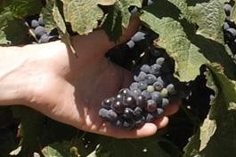 Grapes - Wine